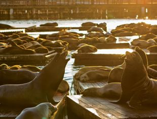 Sea Lions at PIER 39