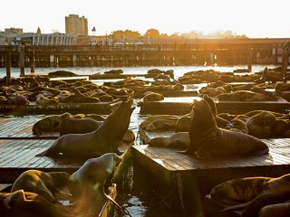 Sea Lions at PIER 39's K-Dock
