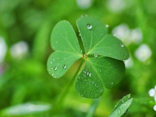 Three-leaf clover, St. Patrick's Day