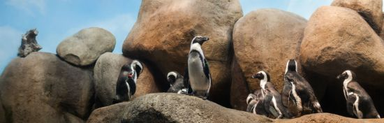 Penguins at California Academy of Sciences